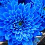 Foto de flor azul 1
