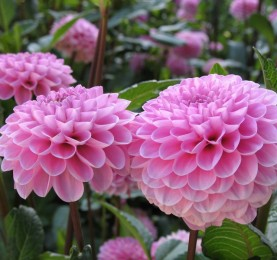 Corazones en rosa